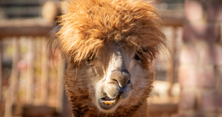 5 Ways to Use Llama Manure in Your Garden